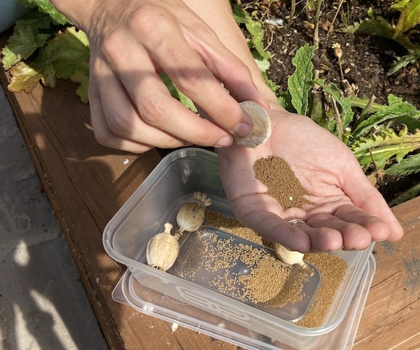 Collecting poppy seeds by tipping seed pods upside down do the seeds all fall out