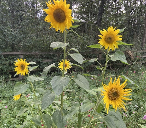 sunflowers planted where they get full sun to ensure lots of flowers