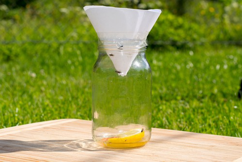 Home made fruit fly trap using a jar and cone