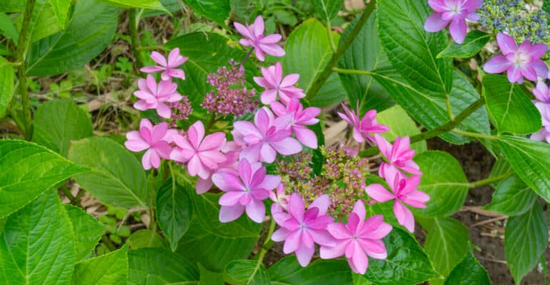 If you prune lacecap hydrangeas at the wrong time of year you will remove the flower buds so in this guide I talk about when and how to prune Lacecap Hydrangeas