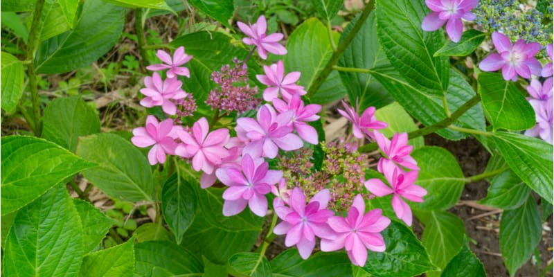 When and how to prune Lacecap Hydrangeas for their best effect?