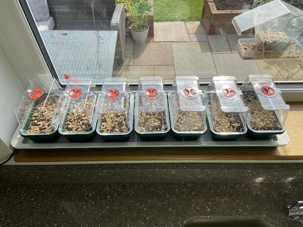 Seed trays in propagator in windowsill waiting to germinate