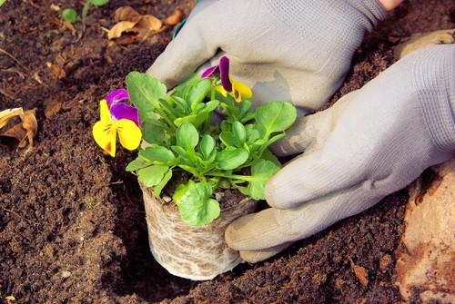 Planting winter pansies grown for seed
