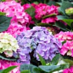 Hydrangeas can do well with very care. However, I'm often asked Do Hydrangeas Need Feeding? Read to learn when and how to feed hydrangeas and when not to feed.