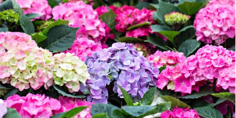 Do hydrangeas need feeding? – how to fertilise hydrangeas