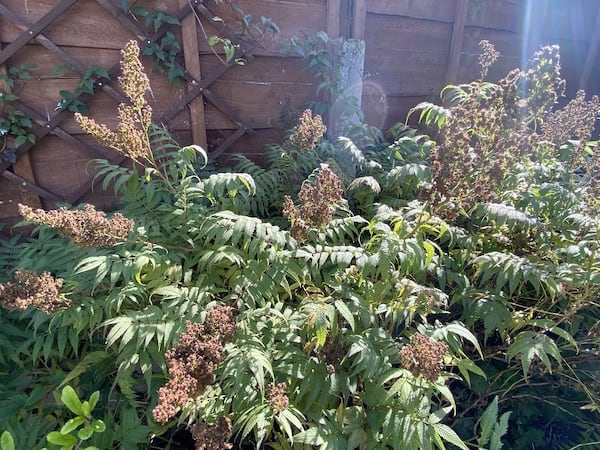 Sorbaria with the flowers now finished