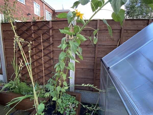 Sunflowers growing well in raised bed