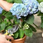 In this guide, I talk about When and how to deadhead Endless Summer Hydrangeas known for their long flowering season as they flower on new and old wood.