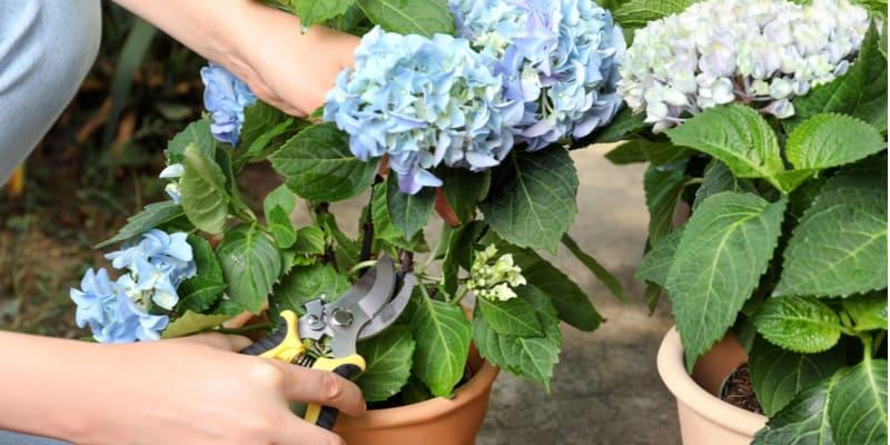 When and how to deadhead Endless Summer Hydrangeas