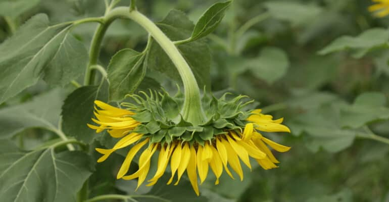 Why are my sunflowers drooping and how to stop it. I talk about why your sunflowers may be drooping and what to do to prevent it. It can be underwatering, disease, inadequate support.