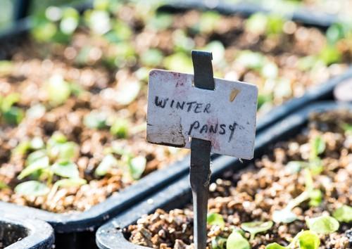 Winter pansies germinating