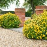 Are chrysanthemums perennials or annuals