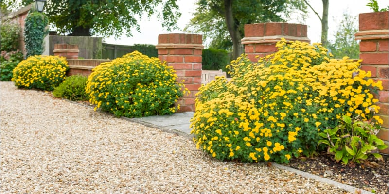 Are chrysanthemums perennials or annuals? – How to decide
