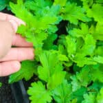 How to keep chrysanthemums over winter - indoors and outdoors?