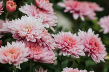 In this guide, I talk about how I go about pruning chrysanthemums also known as garden mums. Pruning is essential to get the most flowers but pinching out is too.