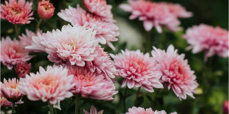 How to prune chrysanthemums. (Deadheading is important too)